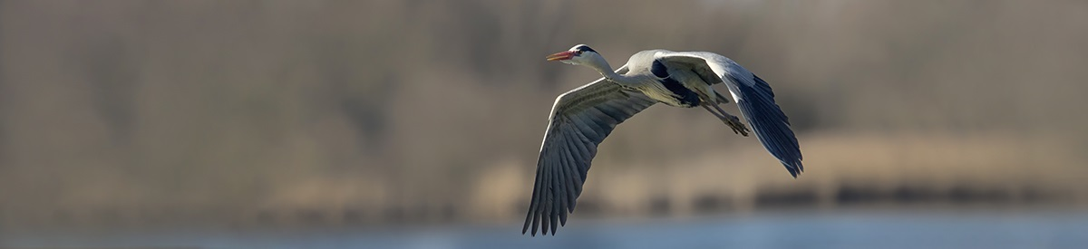 bannerblauwereiger2
