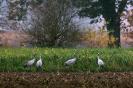Kraanvogel bij Diepholz