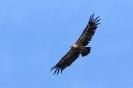 Vale gier boven de Gorges de la Jonte in Frankrijk