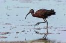 Zwarte ibis in de Camargue