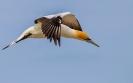 Pacifische Jan-van-gent - Australasian gannet (Morus serrator)