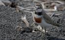 Dubbelbandplevier - Double banded plover (Charadrius bicinctus)