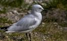 Zwartsnavelmeeuw - Black-billed Gull (Chroicocephalus bulleri)