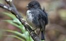 Chathamvliegenvanger - Black Robin (Petroica traversi)
