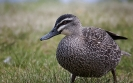 Wenkbrauweend  - Pacific Black Duck (Anas superciliosa)