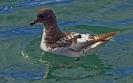 Kaapse stormvogel - Cape Petrel or Cape pigeon (Daption capense)