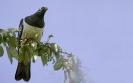 Nieuw-Zeelandse duif - New Zealand Pigeon (Hemiphaga novaeseelandiae)