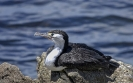 Bonte aalscholver - Australian Pied Cormorant (Phalacrocorax varius)