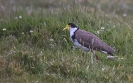 Maskerkievit - Masked Lapwing (Vanellus miles)