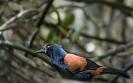 Zuidelijke zadelrug(spreeuw) - South Island Saddleback (Philesturnus carunculatus)