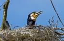 Aalscholver op nest
