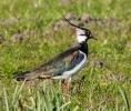 Kievit, Northern lapwing, Vanellus vanellus